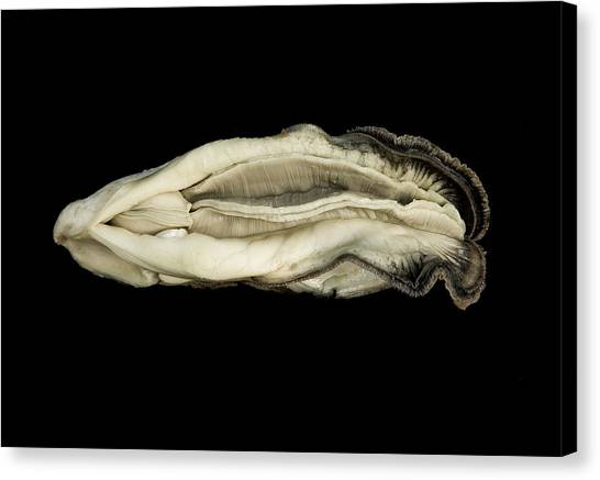 Oysters Canvas Print - Oyster Suspended In Darkness by Andy Frasheski
