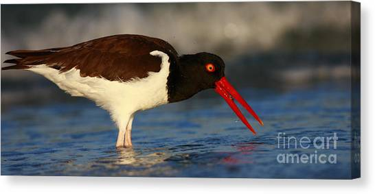 Oystercatcher In Surf Canvas Print