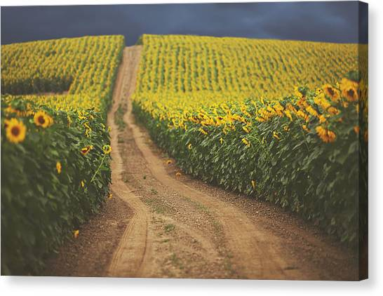 Sunflowers Canvas Print - Oz by Carrie Ann Grippo-Pike