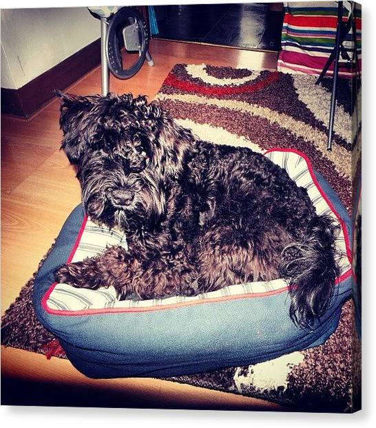 Schnauzers Canvas Print - Ozzie I Think That Bed Is Too Small For by Laurena Pascoe