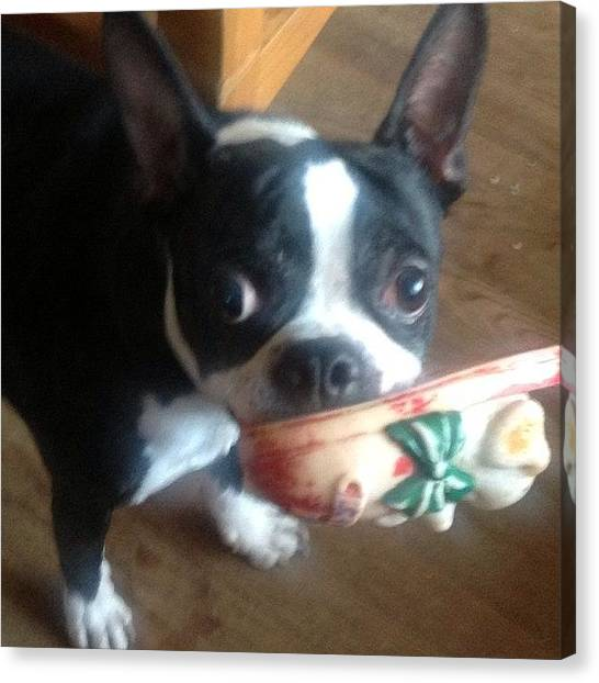 Robins Canvas Print - Ozzy And Toy #bostonterrier  #mydog by Robin Mead