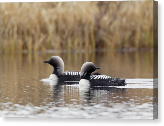 Loon Canvas Print - Pacific Loon Pair by Ken Archer