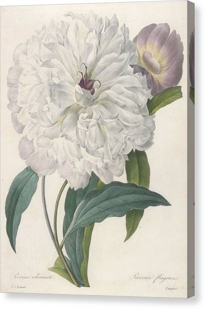 Spring Canvas Print - Paeonia Flagrans Peony by Pierre Joseph Redoute