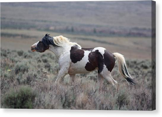 Paint Mustang Stallion Canvas Print
