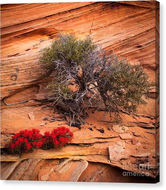 Arizona Coyotes Canvas Print - Paintbrush And Juniper by Inge Johnsson