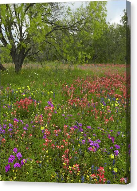 Phlox Canvas Print - Paintbrush, Phlox, Evening Primrose by Tim Fitzharris