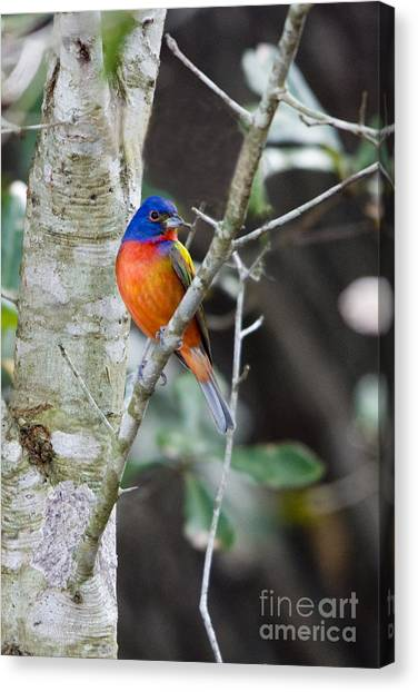 John Greco Canvas Print - Painted Bunting by John Greco
