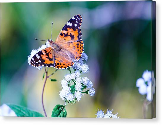 Painted Lady Butterfly 1 Canvas Print
