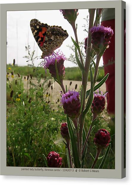 painted lady butterfly - Vanessa cardui - 12AU07-3 Canvas Print by Robert G Mears