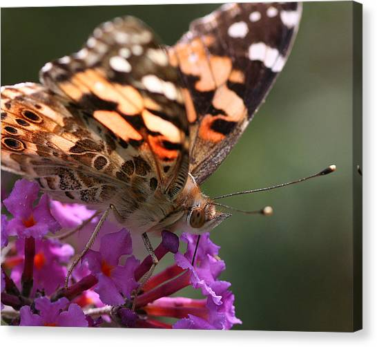 Painted Lady On Butterfly Bush Canvas Print