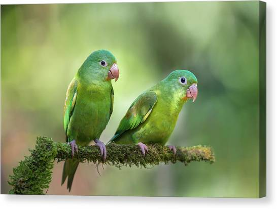 Parrots Canvas Print - Pair O' Parakeets by Greg Barsh