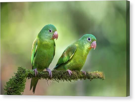 Tropical Birds Canvas Print - Pair O' Parakeets by Greg Barsh