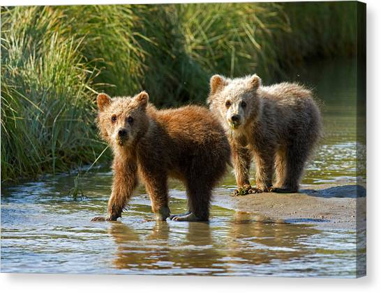 Pair Of Cubs Canvas Print