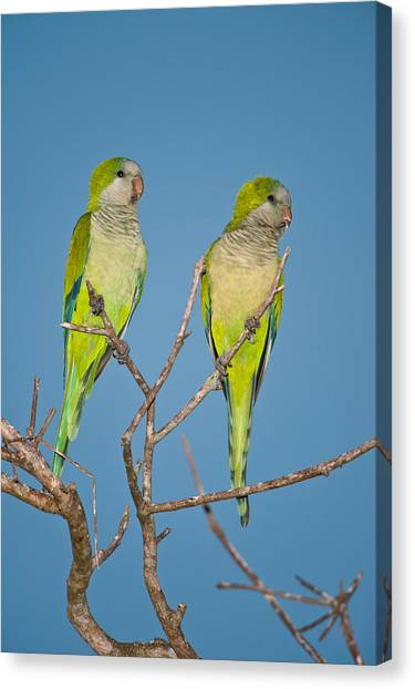 The Pantanal Canvas Print - Pair Of Monk Parakeets Myiopsitta by Panoramic Images