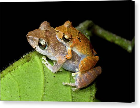 Amazon Rainforest Canvas Print - Pair Of Rain Frogs In Amplexus by Dr Morley Read