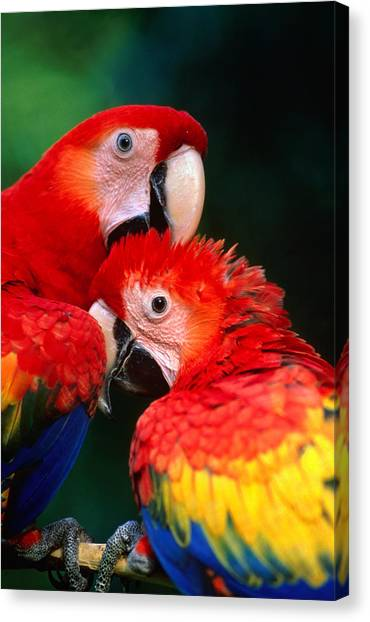 Macaw Canvas Print - Pair Of Scarlet Macaw Ara Macao by Ralph Lee Hopkins