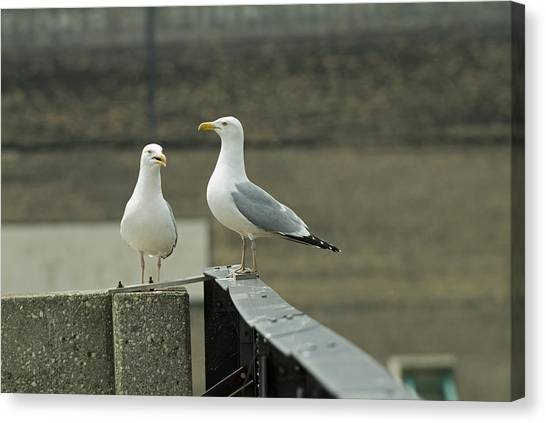 Pair Of Seagulls Canvas Print by Devinder Sangha