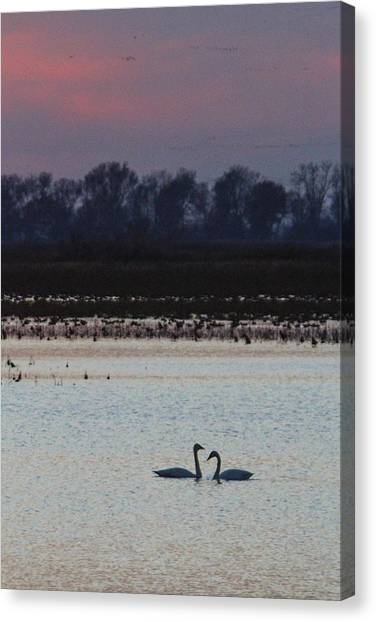Pair Of Swan At Sunset Canvas Print