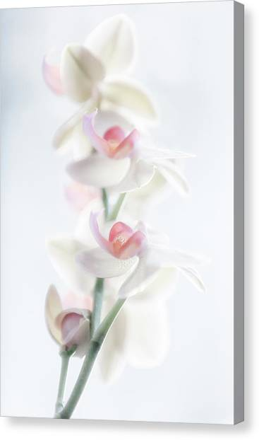 Orchid Canvas Print - Pale Beauty by Peter Pfeiffer