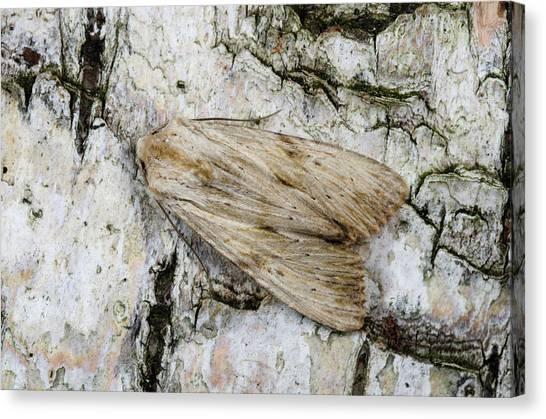 Pinion Canvas Print - Pale Pinion Moth by Nigel Downer