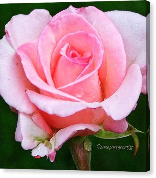 Drops Canvas Print - Pale Pink Beauty by Anna Porter