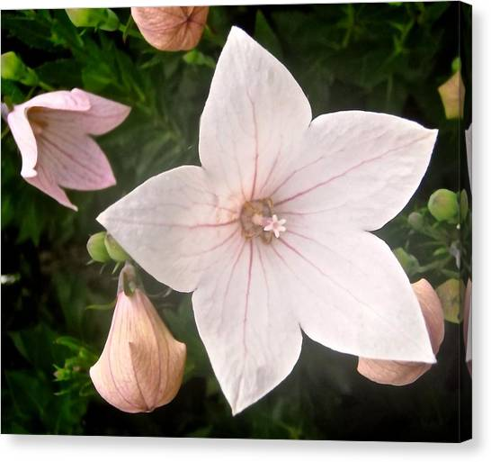 Pale pink flower photograph by stephanie moore pale pink flower canvas print by stephanie moore mightylinksfo