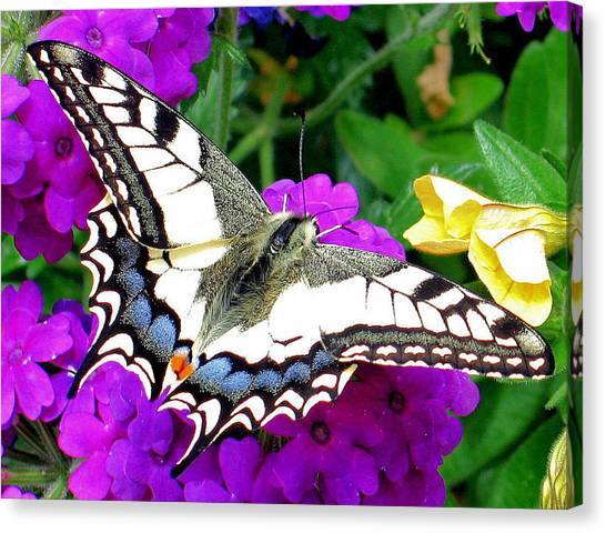 Pale Swallowtail Canvas Print
