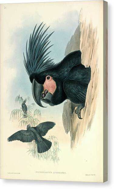 Cockatoos Canvas Print - Palm Cockatoo by Natural History Museum, London
