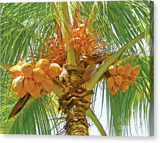Palm Tree With Coconuts Canvas Print