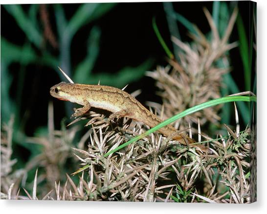 Newts Canvas Print - Palmate Newt by Dr Morley Read/science Photo Library