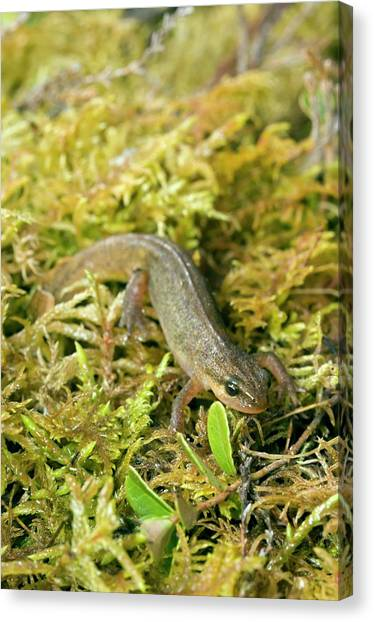 Newts Canvas Print - Palmate Newt by Duncan Shaw/science Photo Library