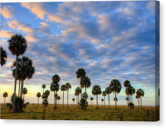 Cabbage Canvas Print - Palms by W Chris Fooshee