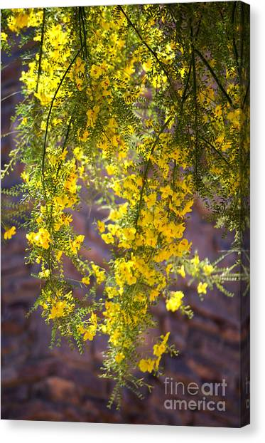 Palo Verde Blossoms Canvas Print