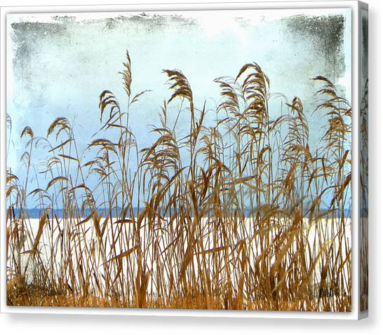 Pampas Grass Canvas Print by Dianne  Lacourciere