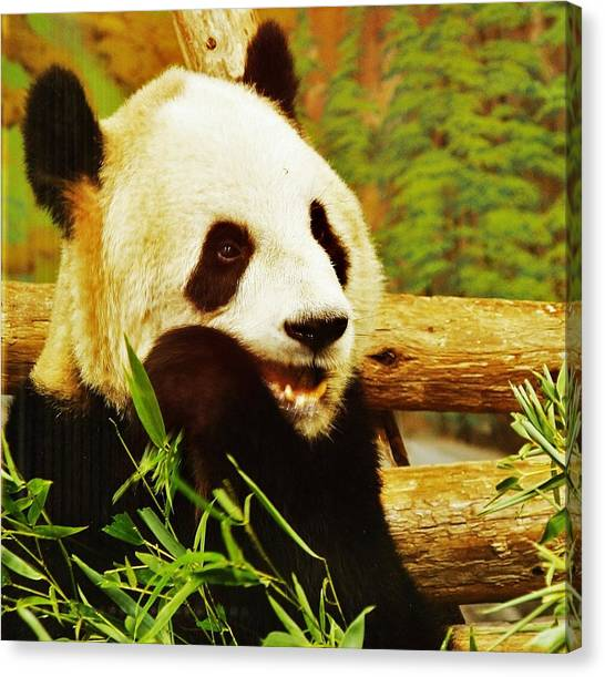 Panda Bear Canvas Print by Al Fritz