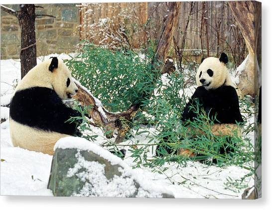 Panda Bears In Snow Canvas Print