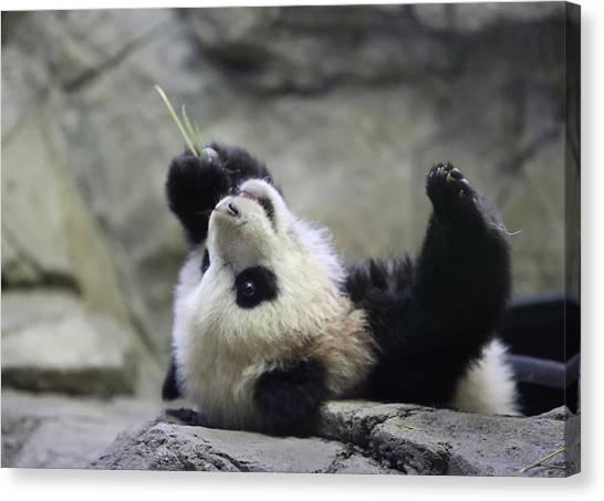 Panda Cub Canvas Print