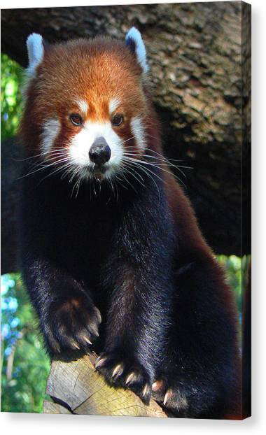 Panda Paws Canvas Print by Margaret Saheed
