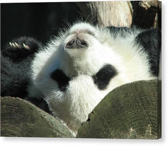Panda Playing Possum Canvas Print