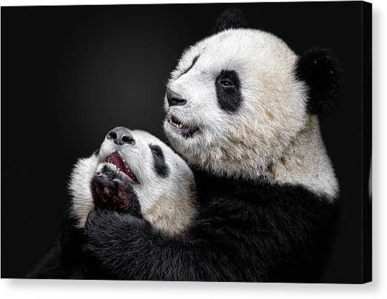 Panda Canvas Print - Pandas by Alessandro Catta