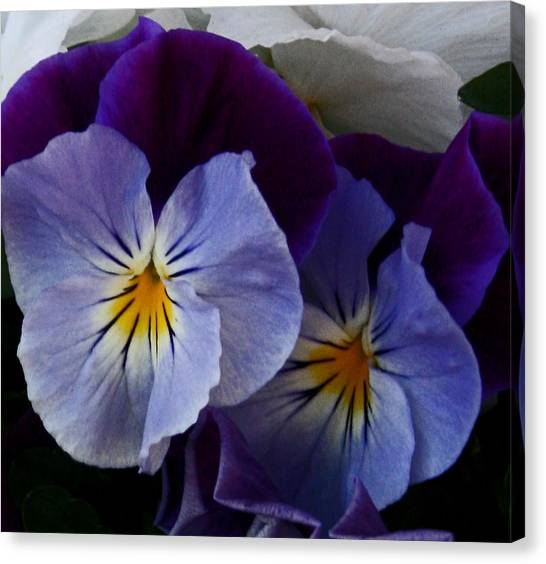 Pansy Delight Canvas Print