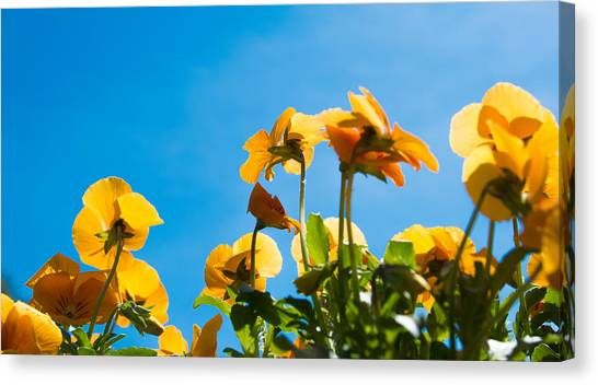 Pansy Flowers And The Clear Blue Sky Canvas Print by Priyanka Ravi