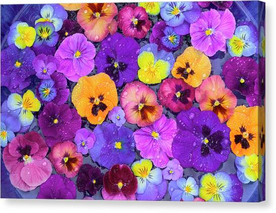 Mountain Dew Canvas Print - Pansy Flowers Floating In Bird Bath by Darrell Gulin