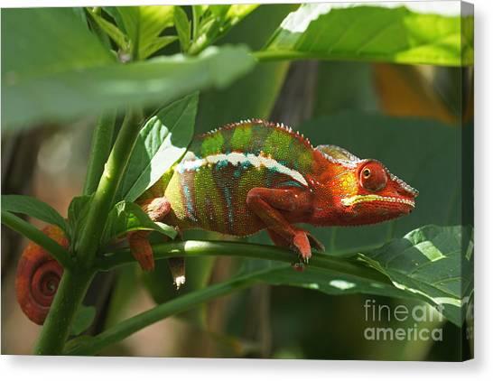 Panther Chameleon Madagascar 1 Canvas Print