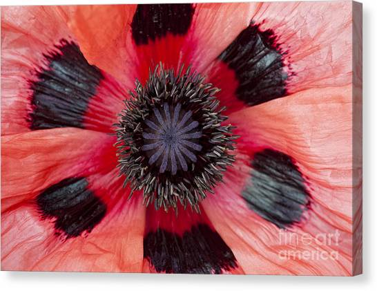 Watermelons Canvas Print - Papaver Orientale Watermelon by Tim Gainey