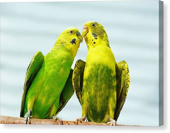 Parakeet Love Canvas Print