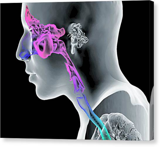 Cavity Canvas Print - Paranasal Sinuses And Throat by K H Fung/science Photo Library