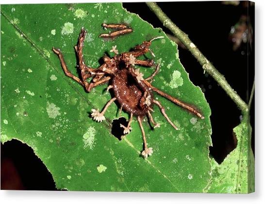 Amazon Rainforest Canvas Print - Parasitic Fungus In Dead Spider Remains by Sinclair Stammers/science Photo Library