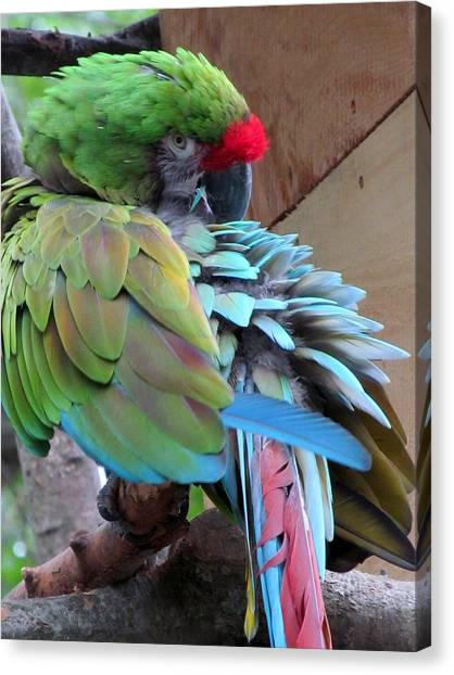 Parrot Feathers Canvas Print by Loretta Pokorny