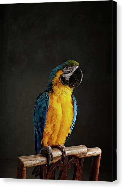 Macaw Canvas Print - Parrot Perched On Chair by Zena Holloway